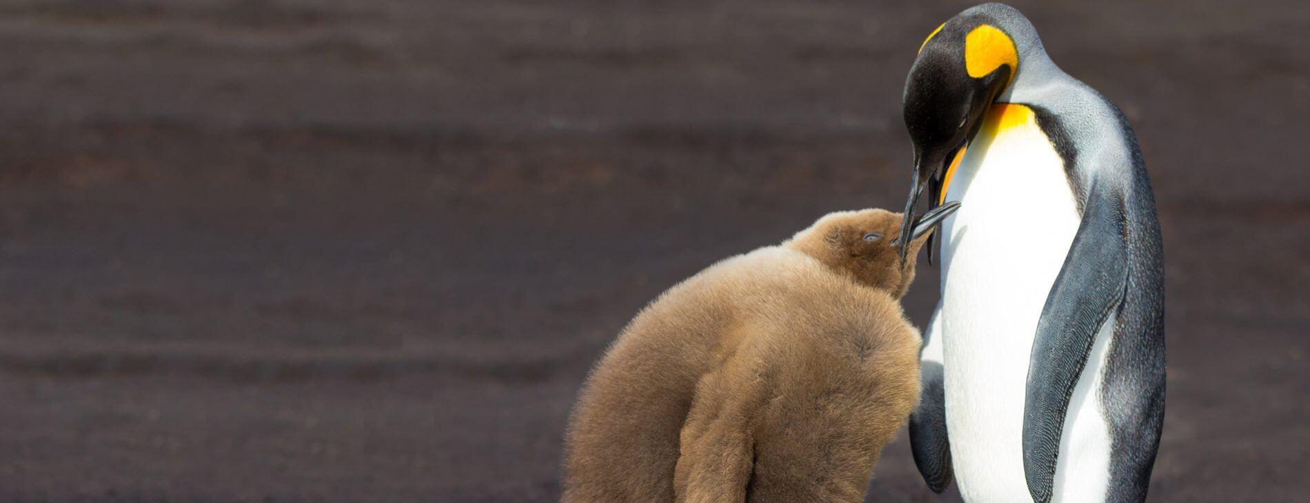 Mastroviaggiatore Falkland un Tocco King Penguin feeds chick