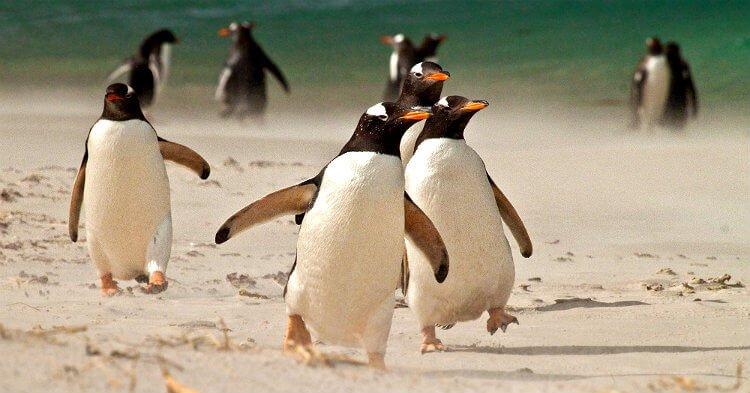 mastro-viaggiatore-come-viaggiare-falkland-pinguini-gentoo