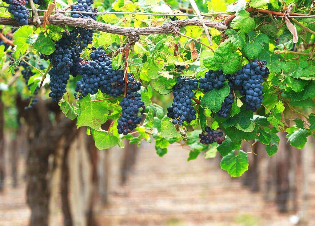 Mastropatagonico-enogastroArgentina-uva