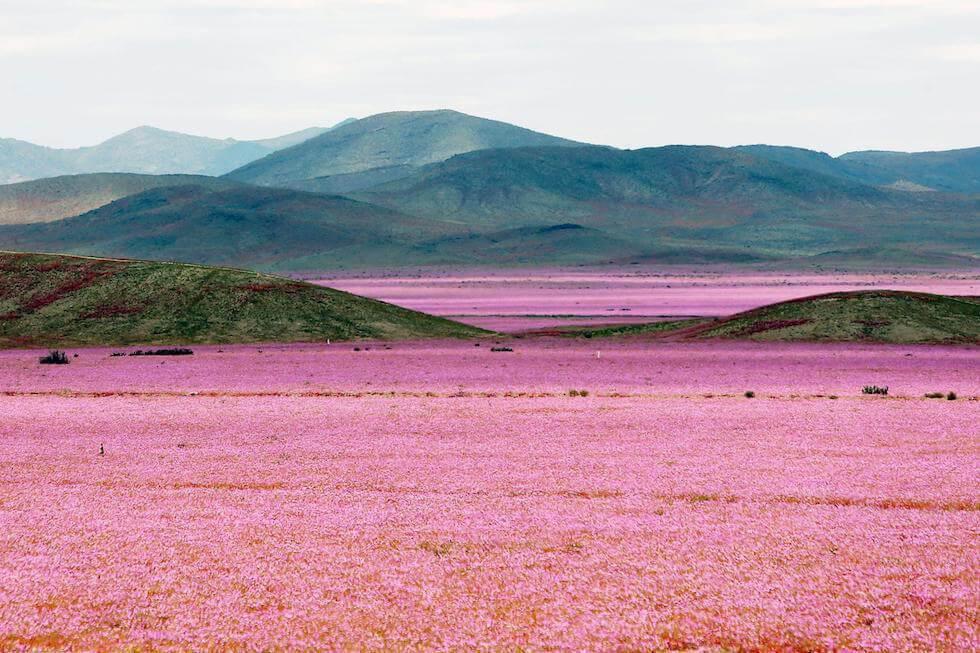 Deserto di Atacama fiorito