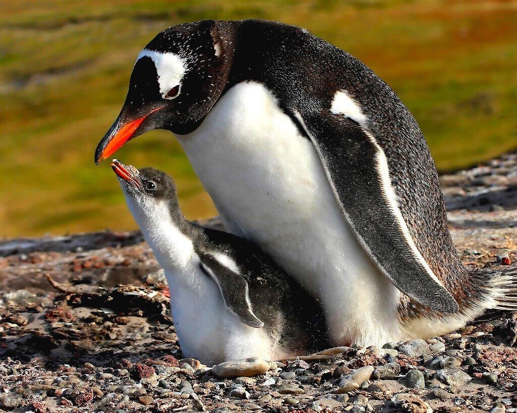 Mastro-patagonico-pinguini-Gentoo