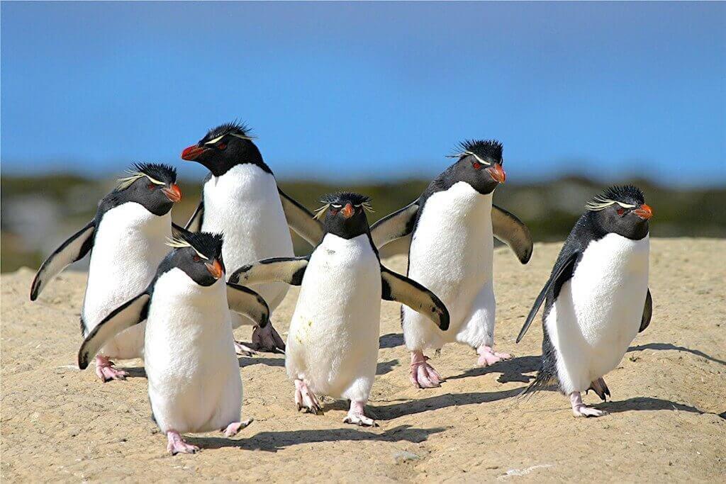 Mastro-patagonico-pinguini-Rockhopper2