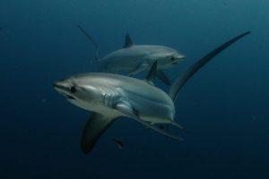 malapascua-squalovolpe