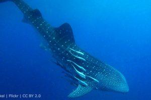 mastroviaggiatore-mante-squalibalena-maldive