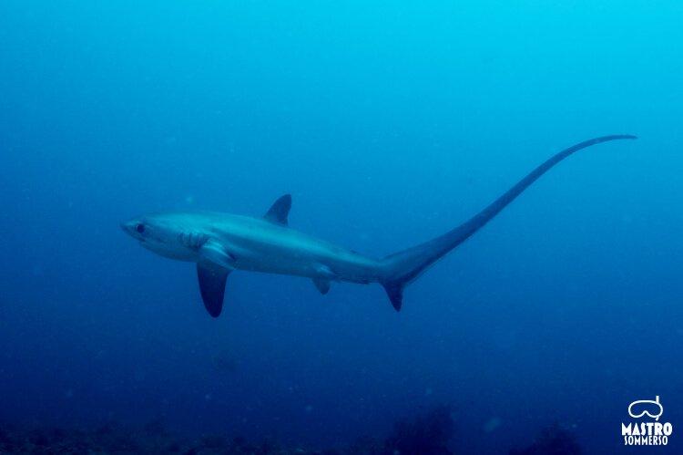 Mastro-sommerso-squalo-volpe-di-daedalus-reef