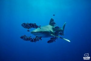 Mastrosommerso-longimanus-elphinstone-reef