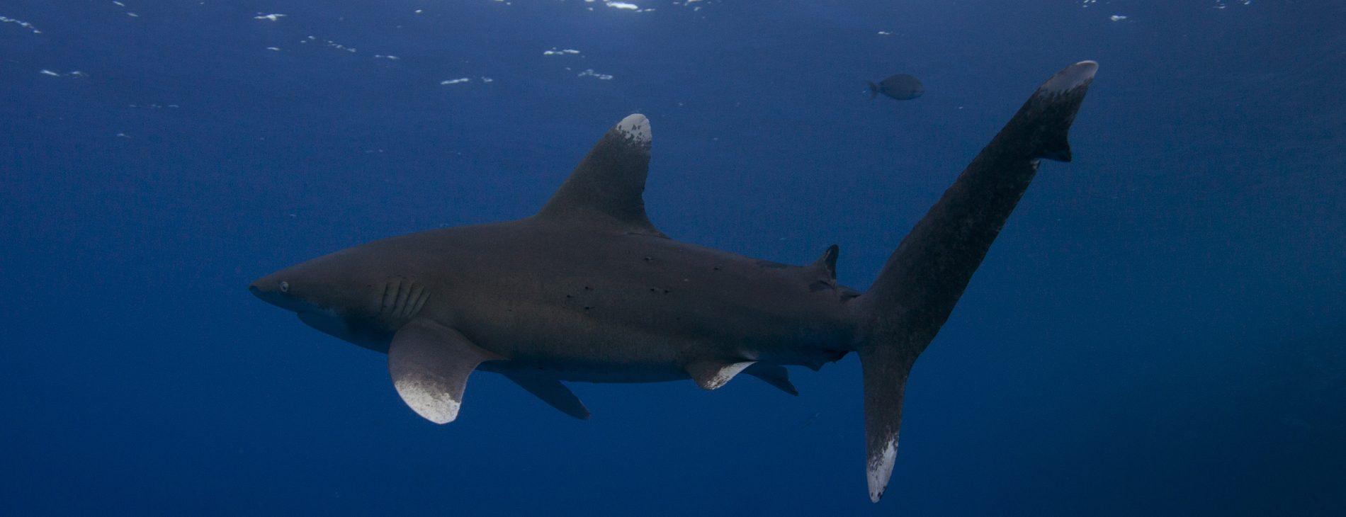 Mastrovaggiatore Egitto Crociera BDE requin