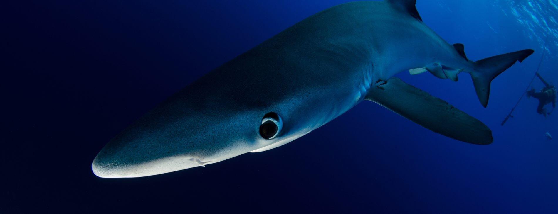 Mastroviaggiatore Azzorre - shark diving Verdesca