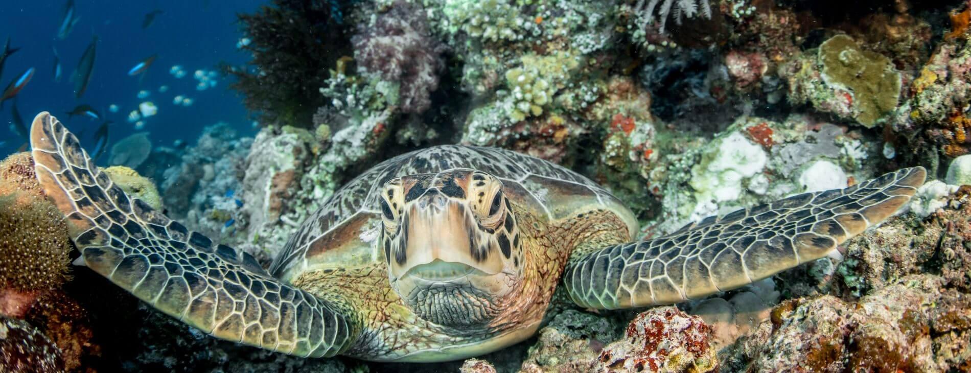 Mastroviaggiatore Indonesia Nabucco Green turtle