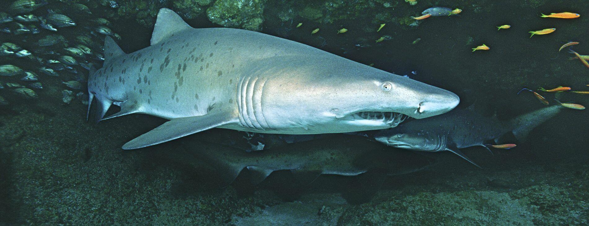 Mastroviaggiatore Sudafrica - Raggy Shark