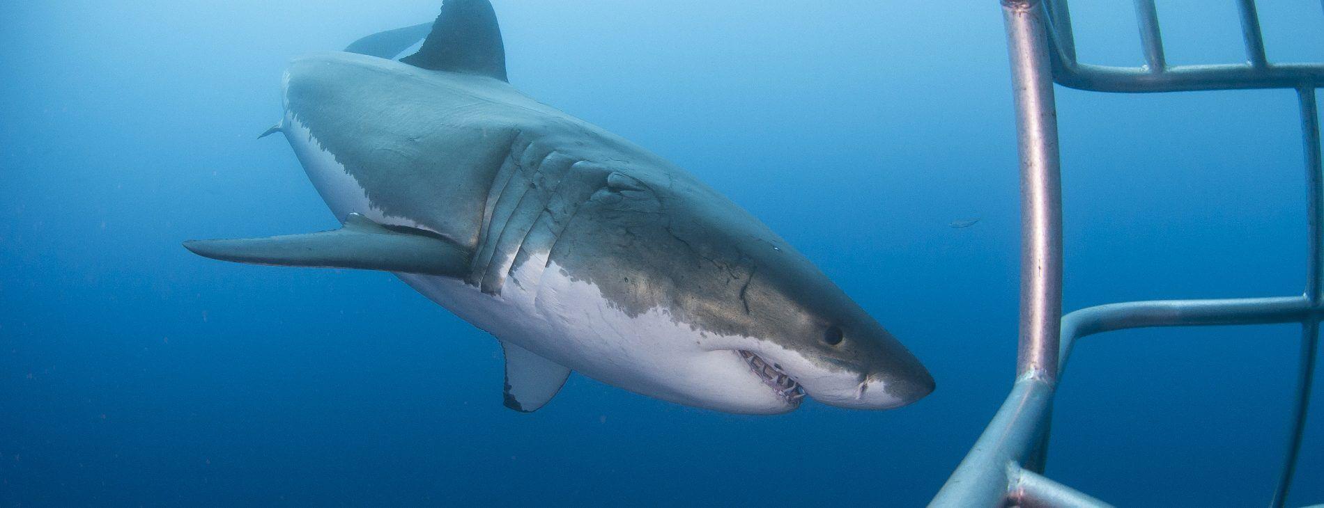 Mastroviaggiatore Sudafrica - Sharkaholic - White Shark Cage