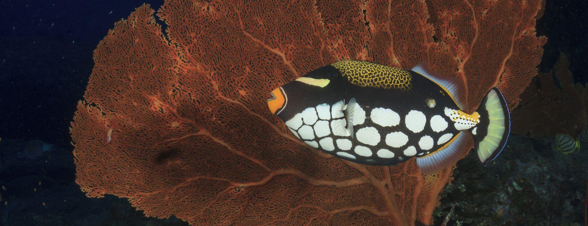 Mastroviaggiatore Zanzibar - Clown Triggerfish