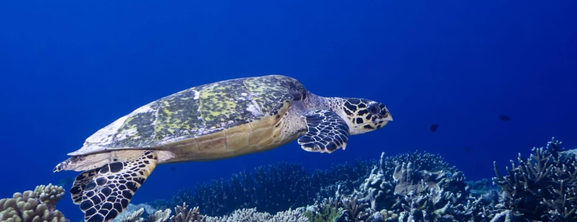 Mastroviaggiatore maldive crociera-southatolls-addu-turtle