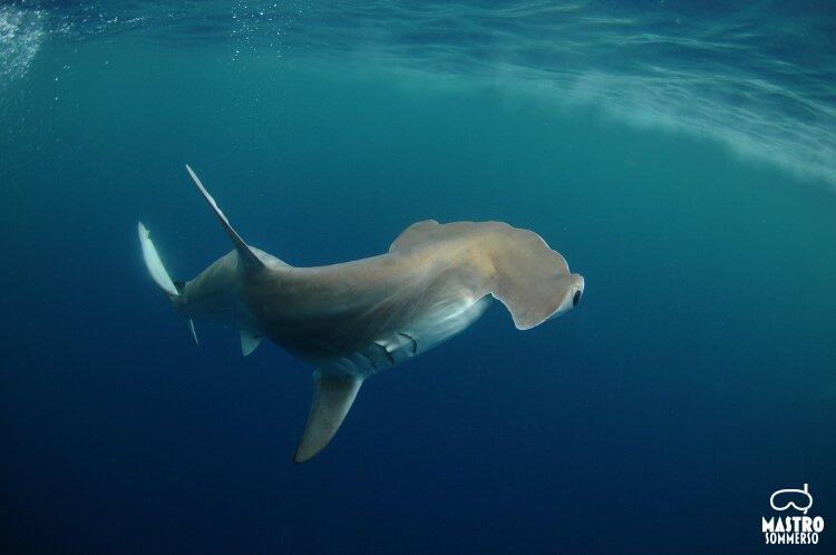 hammerhead shark in its natural habitat in the ocean