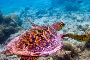 Mastro Viaggiatore Hawksbill Turtle swiming like flying at Maldives