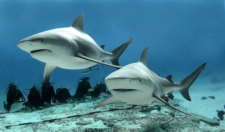 mastroviaggiatore_10curiosita-squalo-zambesi