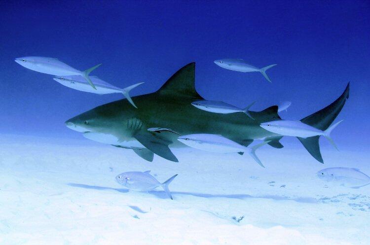 Bull Shark (Carcharhinus Leucas), Playa del Carmen, Mexico