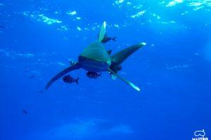 mastroviaggiatore-squalo-longimanus
