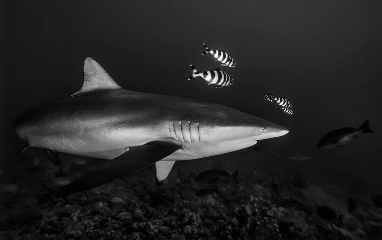 Mastro Viaggiatore SUDAN, Red Sea, Sha'ab Rumi, U.W. photo, Silky shark (Carcharhinus falciformis)