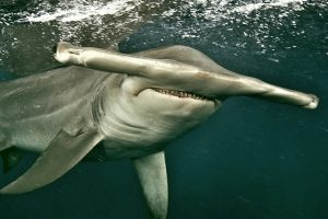 mastroviaggiatore_great-hammerhead-shark