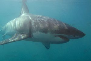 mastroviaggiatore_great-white-shark