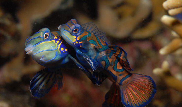 mastroviaggiatore_mandarin-fish