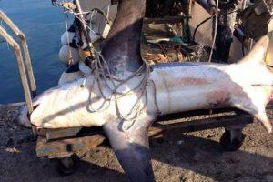 mastroviaggiatore_mediterraneo-squalo-volpe