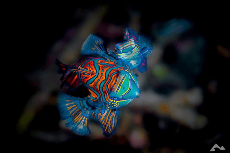 mastroviaggiatore_pesce-mandarino