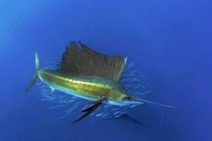 mastroviaggiatore_sail-fish