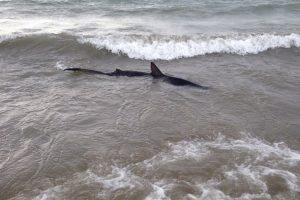 mastroviaggiatore_squali-mar-mediterraneo