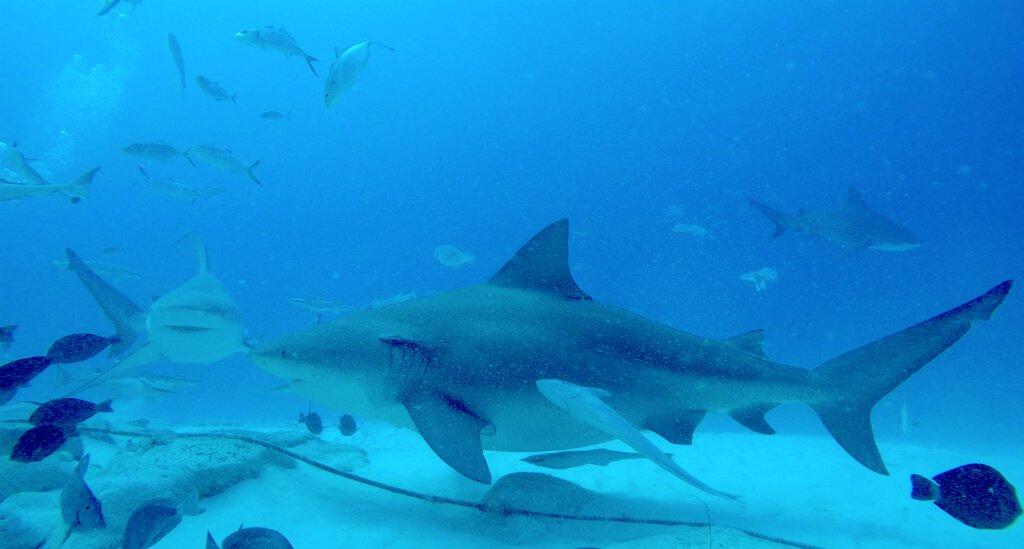 mastro-sommerso-le-mie-ragazze-squalo-zambesi