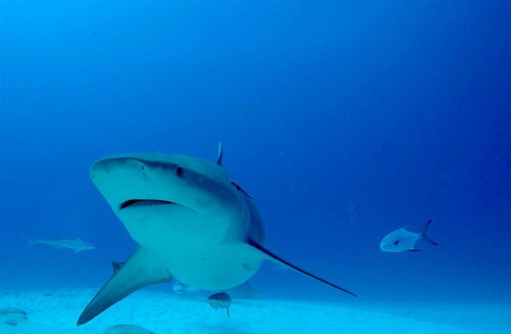 mastrosommerso-bull-shark-zambesi